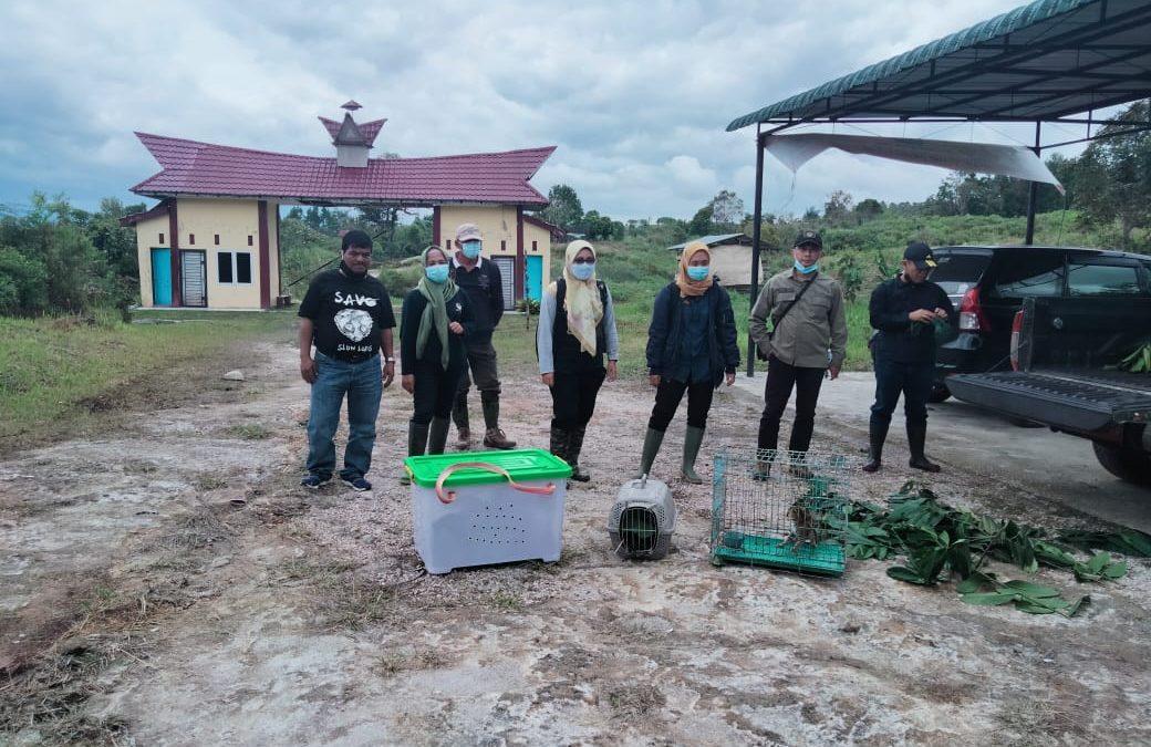Kukang Sumatra dan Macan akar kembali ke habitatnya